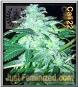 Cali Connection 22 Cannabis Seeds Marijuana Strain Fast Secure Cheap